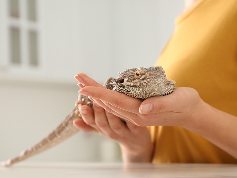 News Picture: Beware Pet 'Bearded Dragons': CDC Says They Could Carry Salmonella