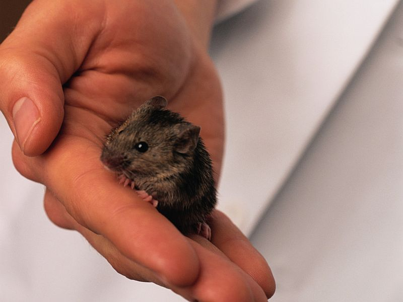 Cell Treatment Boosted Mice's Life Span by a Third