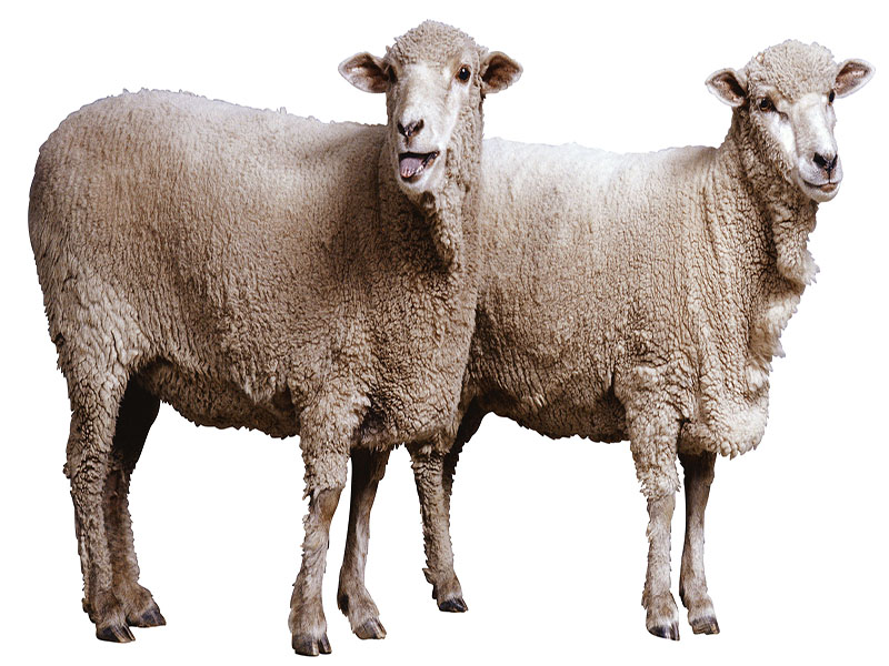 Arthritis Didn't Afflict Famed Clone Sheep, Experts Say