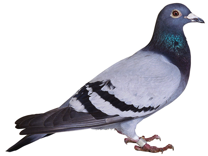 News Picture: Much-Maligned Pigeon May Be a Lead Detective