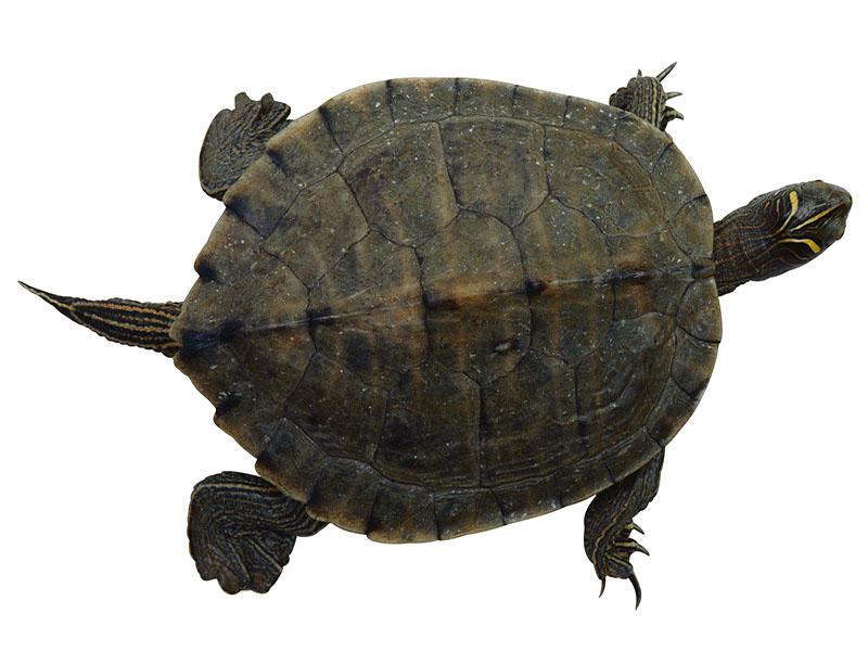 Tiny Turtles Carry Salmonella Threat