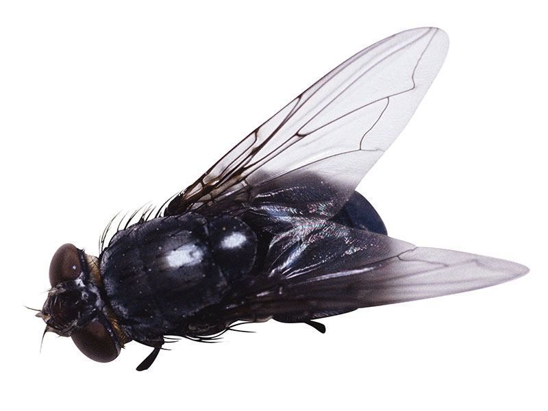 Even Flies Enjoy Ejaculation: Study