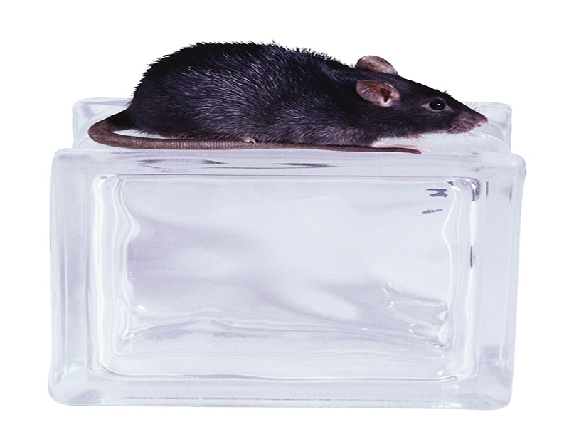News Picture: Scientists Identify Sugar-Busting Enzyme in Rats