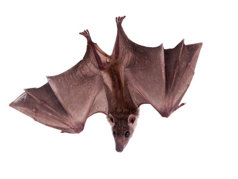 News Picture: New Insight on Killer Fungus Threatening Bats