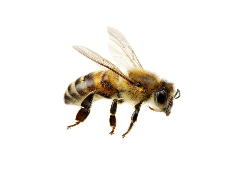 News Picture: There's Bad Buzz on Antibiotics for Honeybees
