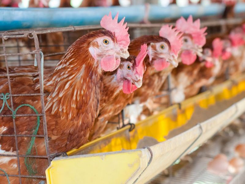 News Picture: Strain of E. Coli Spread From Poultry to People, Study Suggests