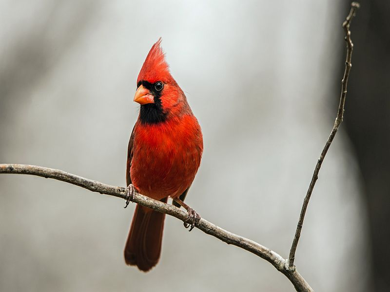 When It Comes to West Nile, Robins Do It, Cardinals Don't Researchers identify birds likely to spread, suppress the virus