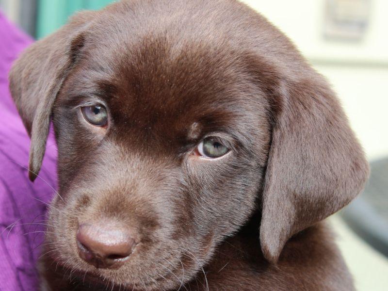 A Labrador's Color Might Determine Its Life Span