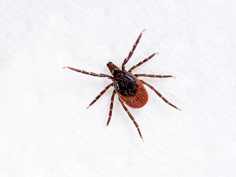 Ticks Carrying Lyme Disease Confirmed in Eastern National Parks