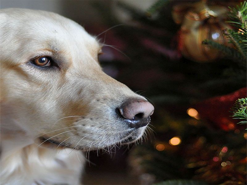 The Holidays Can Pose Hazards to Your Pet's Health
