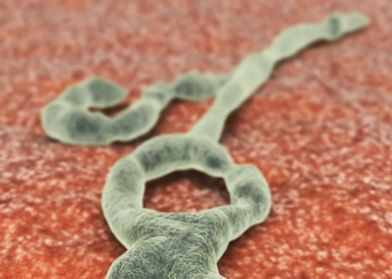 News Picture: Tiny Genetic Tweak May Stop Ebola Virus in Its Tracks