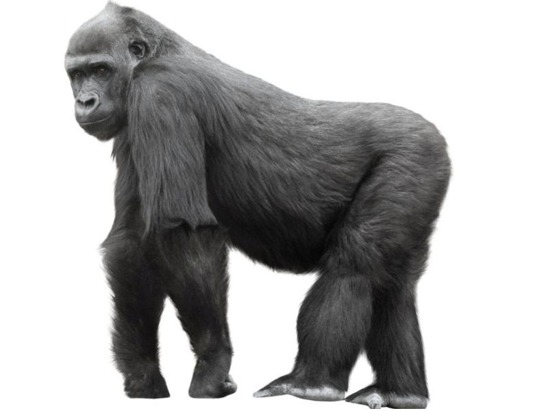 Unlike Humans, No Bone Loss for Gorillas as They Age