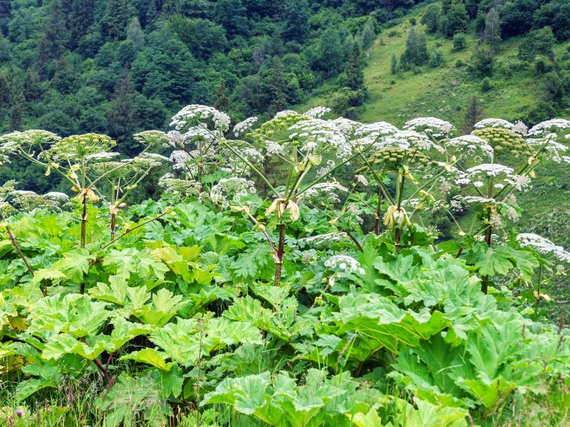 Giant Hogweed Can Burn Skin And Eyes And Its Spreading
