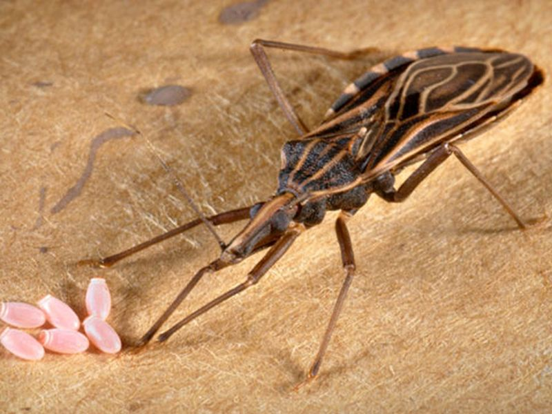 FDA Approves 1st Treatment for 'Kissing Bug' Illness in Children