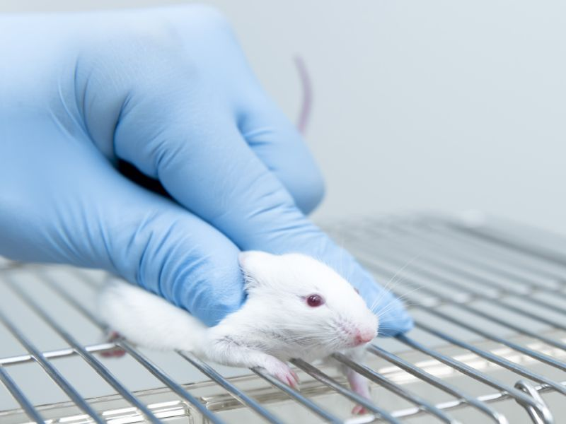 Hormonal Changes Might Lead to Hernias in Aging Men, Mouse Study Suggests