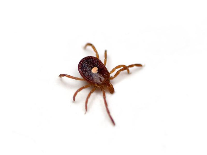蜱虫叮咬比想象中更容易引起红肉过敏