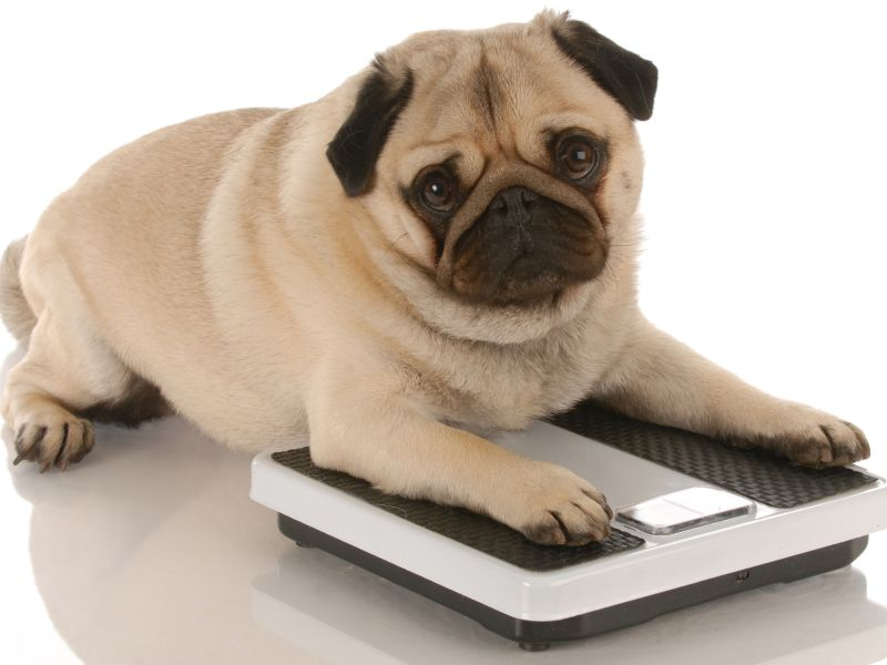 Does Your Pet Have a Weight Problem? Here's How to Tell