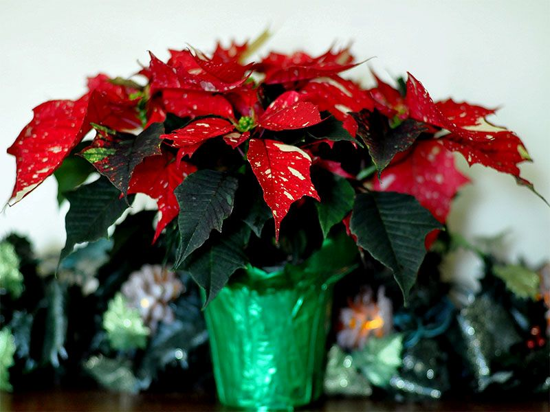 Holiday Plants Can Pose Health Risks to Kids, Pets