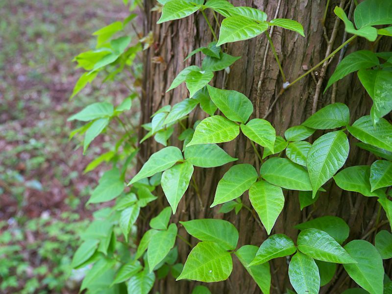 Blocking immune protein may stop poison ivy's itch, mouse study suggests