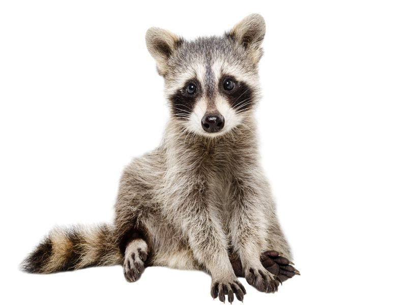 Raccoon Parasite Not as Deadly to Humans as Thought