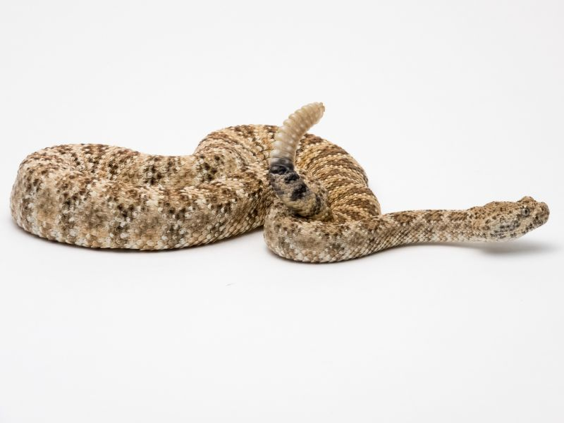 News Picture: More Rattlesnake Bites After Rainy Spells