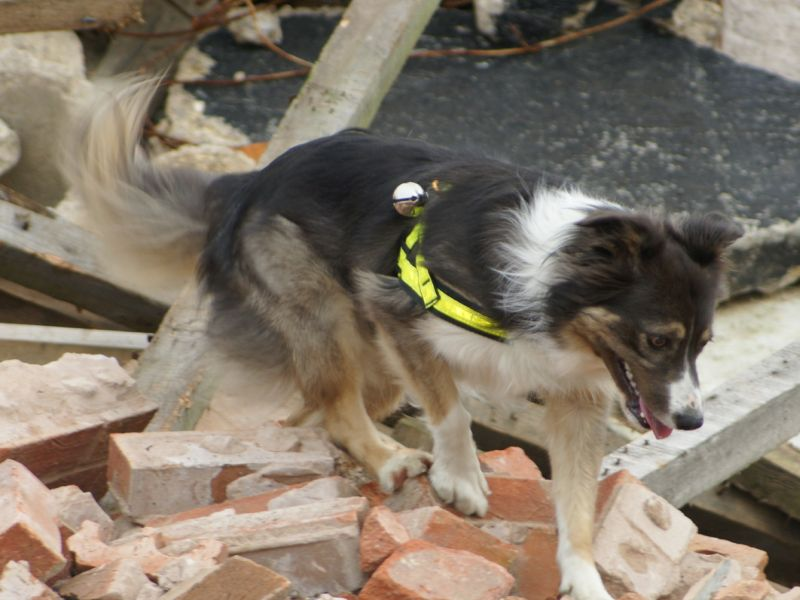 Search and Rescue Dogs Fared Well After Working at 9/11 Sites