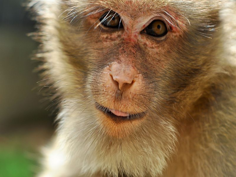 Work With Monkeys May Benefit HIV Babies