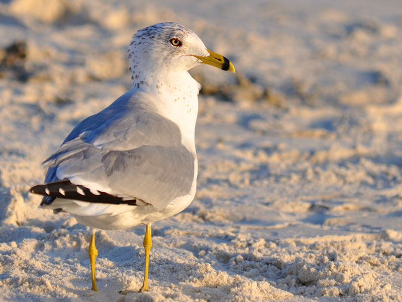 What Makes Your Food So Attractive to Seagulls?