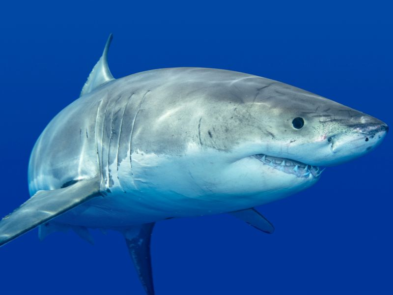 News Picture: Don't Fear, Shark Attacks Remain Rare