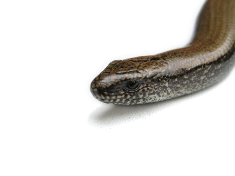 Snakebites a Rising Danger for U.S. Children