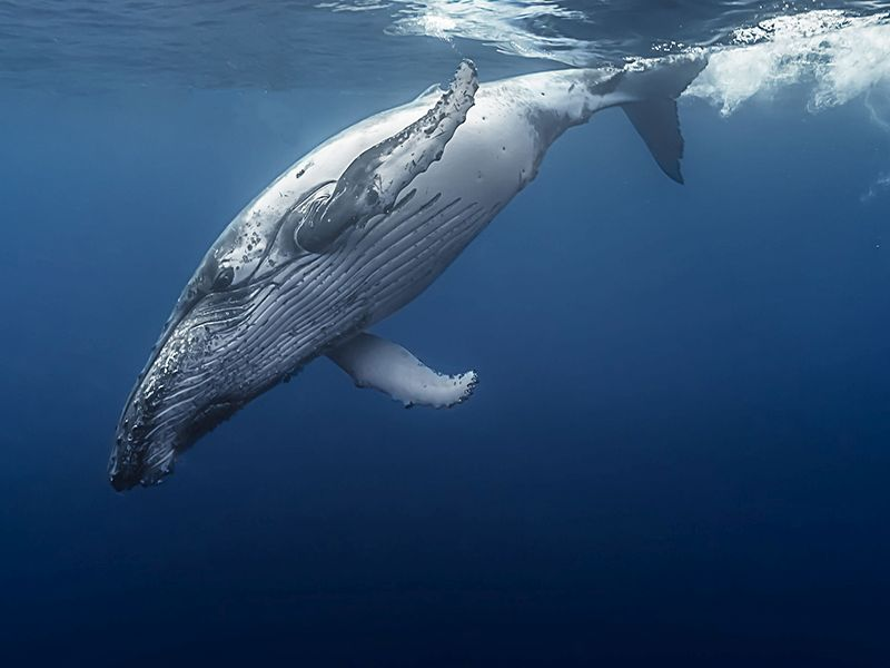 Looking to Whales for Insight on Human Cancers