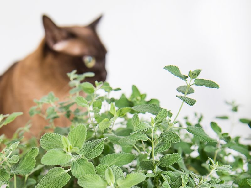 Genome of Catnip Reveals How It Makes Cats Nuts