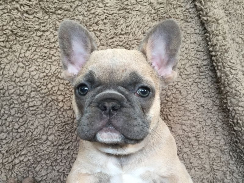 French Bulldogs: Cute, But Health Issues Abound