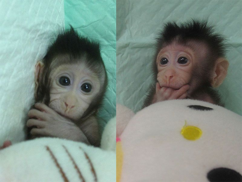 Chinese Lab Clones the World's First Primates Using Dolly-the-Sheep Technique